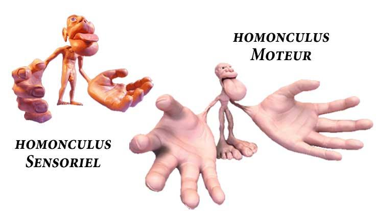 proprioception-tai-chi-homonculus-sensoriel-et-moteur